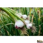 Organically Grown Garlic With Leaf - 1 Bunch