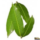 Mango Leaf - 5 leaves