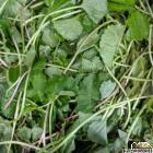 Vallarai/Brahmi Booti Leaves /Pennywort/ Rau Ma - 5 0z